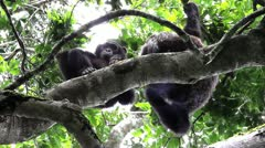 A WILD Pair of Endangered Chimpanzees Rest in the Kigale Forest, Uganda, Africa. - stock footage