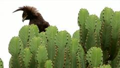 Long-crested Eagle in cactus in Uganda, Africa. Stock Footage