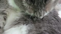 Grooming Kitty Stock Footage