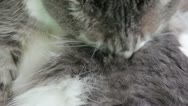 Stock Video Footage of Grooming Kitty