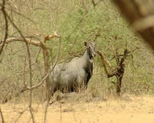 Male Blue Bull at Gir Forest India Stock Footage