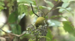 Japanese White-eye (Zosterops japonicus) Stock Footage