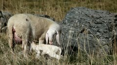 Breastfeed of a little lamb just born. Stock Footage