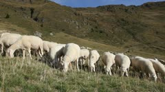 Flock of white, clean Bergamasker sheep grazing. Stock Footage