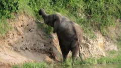 A WILD African Elephant feeding on vegetation in Uganda, Africa. Stock Footage