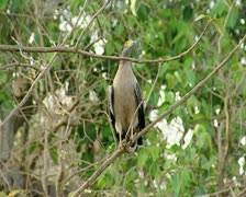 Serpent Eagle at Gir Forest India Stock Footage
