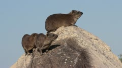 Dassies sitting on a rock Stock Footage
