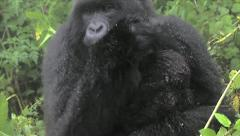 Wild Mountain Gorilla Playing with Newborn Baby in Rwanda Stock Footage
