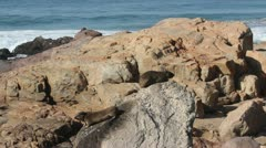 Two Dassies sitting on rocks on the beach Stock Footage
