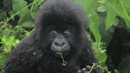 Stock Video Footage of Wild Mountain Gorilla Baby Eating on Mom's Shoulders in Rwanda