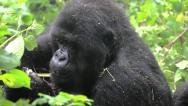 Stock Video Footage of Wild Mountain Gorilla Feeding on Vegetation in Rwanda