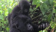 Wild Mountain Gorilla Baby Eating on Mom's Shoulders in Rwanda Stock Footage