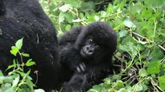 Wild Mountain Gorilla Twin Babies in Rwanda (only twins in the world!) Stock Footage