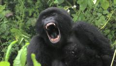 WILD Mountain Gorilla Seen Here Yawning and with Newborn Baby in Rwanda Stock Footage