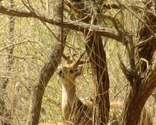 Spotted Deer at Gir Forest India Stock Footage