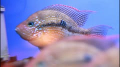 Thorichthys ellioti in aquarium Stock Footage