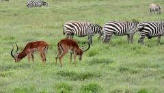 Wild Impala & Zebra Feed Together for Protection in Lake Nakuru, Kenya, Africa. Stock Footage