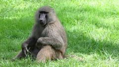 A Wild Olive Baboon Scratching Itches at Lake Nakuru in Kenya, Africa. Stock Footage