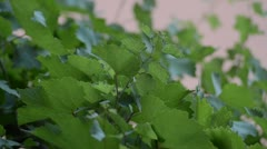 Leaves of Grape Vines Stock Footage