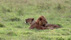 A Bonded Mating Pair of Wild Lions in Lake Nakuru, Kenya, Africa. Stock Footage