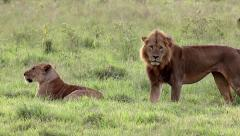 A Complete Mating Sequence Between Wild Lions in Lake Nakuru, Kenya, Africa. Stock Footage