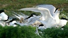 Sandwich Tern Stock Footage