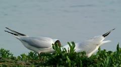 Pair of Black-headed Gulls Stock Footage