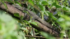A WILD Nile Monitor at the Source of the Nile in Jinja, Uganda. Stock Footage