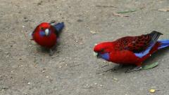 Two rosellas Stock Footage
