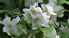 European Mock Orange - Detail Stock Footage