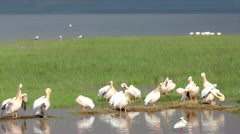 White Pelicans on the Shore of Lake Nakuru in Kenya, Africa. Stock Footage
