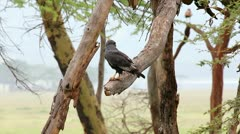An Eagle Rests on a Limb with its Prey in Lake Nakuru, Kenya, Africa. Stock Footage
