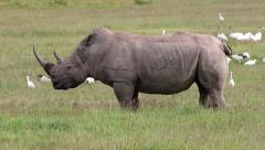 A WILD White Rhinoceros Peeing in Lake Nakuru, Kenya, Africa. Stock Footage