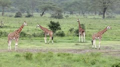 A WILD Group of Rothschild Giraffes at Lake Nakuru, Kenya, Africa. - stock footage