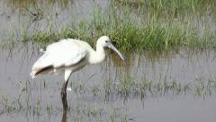 African Spoonbill cleaning its feathers in Lake Nakuru, Kenya, Africa. Stock Footage