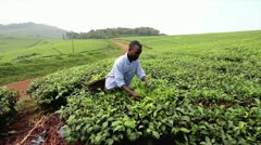 Ugandan Man Picks Tea from Bushes in Uganda, Africa. - stock footage