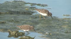 Least Sandpiper (Calidris minutilla) Stock Footage