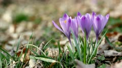 Crocus in the wind Stock Footage