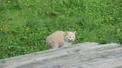 Feral Kitten Posturing Stock Footage