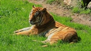 Tiger two Stock Footage