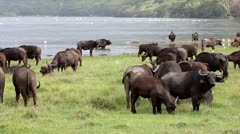 A group of WILD African Buffalo on the shores of Lake Nakuru, Kenya, Africa. Stock Footage