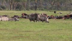 A WILD Group of White Rhinoceros at Lake Nakuru, Kenya, Africa. - stock footage
