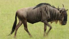 Blue Wildebeest Walking Slowly in the Masai Mara in Kenya, Africa. - stock footage