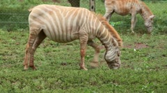 An Extremely RARE Albino Plains Zebra (Equus quagga) in Kenya, Africa. Stock Footage