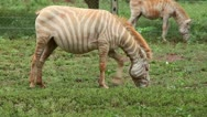 Stock Video Footage of An Extremely RARE Albino Plains Zebra (Equus quagga) in Kenya, Africa.
