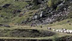 Transhumance in the Alps. Flock moving, clip 1: the head of the herd. Stock Footage
