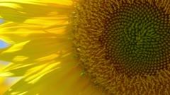 Sunflower Close Up Stock Footage