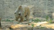White bears Stock Footage