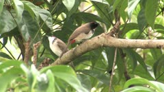 Red-whiskered Bulbul (Pycnonotus jocosus) Stock Footage