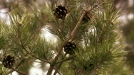 Cones in a tree Stock Footage